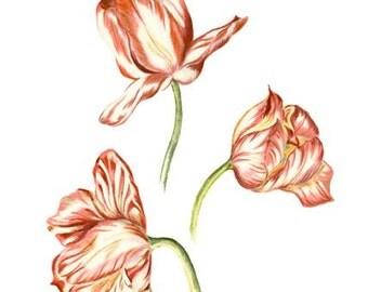 Three Graces, LIMITED EDITION, Elegant Tulips, Botanical Print Drawing, Tulip Wall Art, National Flower of Netherlands, Hungary & Turkey