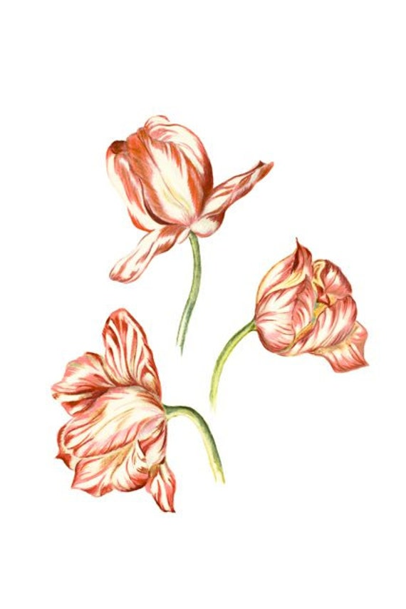 Three Graces, LIMITED EDITION, Elegant Tulips, Botanical Print Drawing, Tulip Wall Art, National Flower of Netherlands, Hungary & Turkey