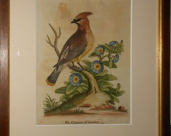 The Chatterer  of carolina by George Edwards or Cedar Waxwing 1753