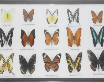 REAL 15 BEAUTIFUL BUTTERFLIES Collection in Frame/BF17W