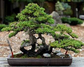 Bonsai Seed Collection, perfect for you or someone you love. Six species, 200 seeds, gift wrapped, Redwood, Eucalyptus, Olive Tree, Moss
