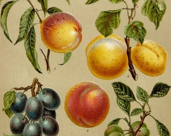 1895 Antique fine lithograph of FRUITS. Peach. Cherry. Grape. Plum. Gage. Home Decor. 121 years old gorgeous print.