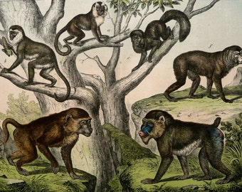 1886 Antique fine lithograph of MONKEYS, PRIMATES, different species. Natural History. 129 years old gorgeous print.