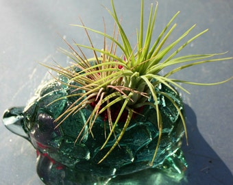 Icicle - Cool Air Plant Medley of Scaposa & Ionantha in Clear Glass Turtle Planter