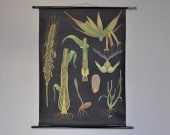 Original Pull Down School Chart. Rye.  Mid Century Botanical Print.  Jung Koch Quentell. Germany. 1140