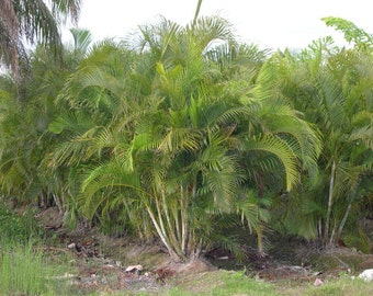 Areca Palm Tree LIVE TREES Fast Grow Indoor Outdoor Plants Air Purifier NASA Studied Plant for Air Purification!