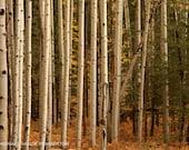 "Aspen Trees, Aspen, Travel Photography, Nature Photo, Landscape, White Aspen Trees, Home Decor, Fine Art Photography, ""Aspen"""