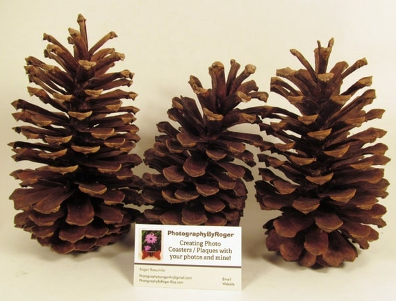 extra large florida pine cones for your crafting needs fi124
