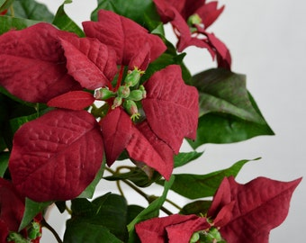Poinsettia Bush(lot of 3)