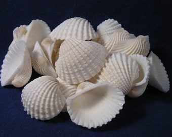 White Ark Seashells - Beach Decor - Nautical Decor - Beach Wedding Decor - Crafts - 25 pieces