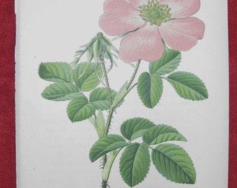 1886 Original Botanical Prints - Rosa gallica & Rosa rubrifolia ( 2 items )