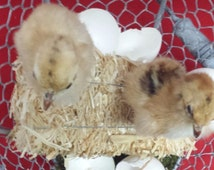 Taxidermy Chick in Wire Basket and Hatched Egg-chicken wire basket display//bird display