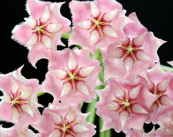 Orchid hoya pink Seeds , orchids seeds, rare orchids, code 281 , orchid collection, gardening, flower seeds