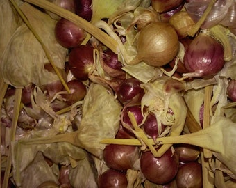 "German Red Rocambole Garlic 10+ Bulbils 1/4"" or larger"