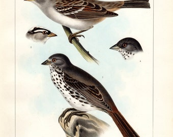 Antique Bird Print 1860 Gambel's Finch & White-crownded and Slate-colored Sparrows Birds of North America Color Large Lithograph John Cassin