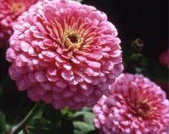 Zinnia Elegans Luminosa Pink * Dahlia Flowered!! 50 Seeds