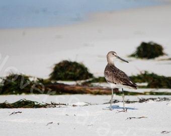 SALE Willet on Pensacola Beach Photograph // Florida Shorebird Photograph Print
