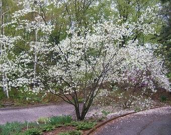 5 Amelanchier laevis Seeds,  smooth shadbush , Allegheny serviceberry