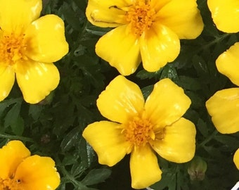 25 yellow marigold tagete seeds for the garden