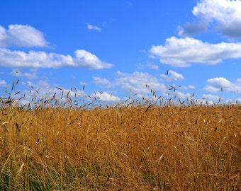 Instant Download Wheat Field Clouds Picture - Wallpaper or Background - Printable 8x10
