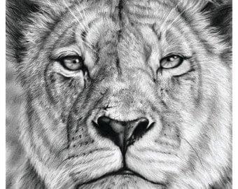 Lioness Stare in Graphite on Bristol Paper. A3 Print.