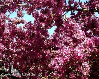 Cherry Tree in Full Bloom, Photo Print, Spring Photo, Cherry Blossom, Framed Photo