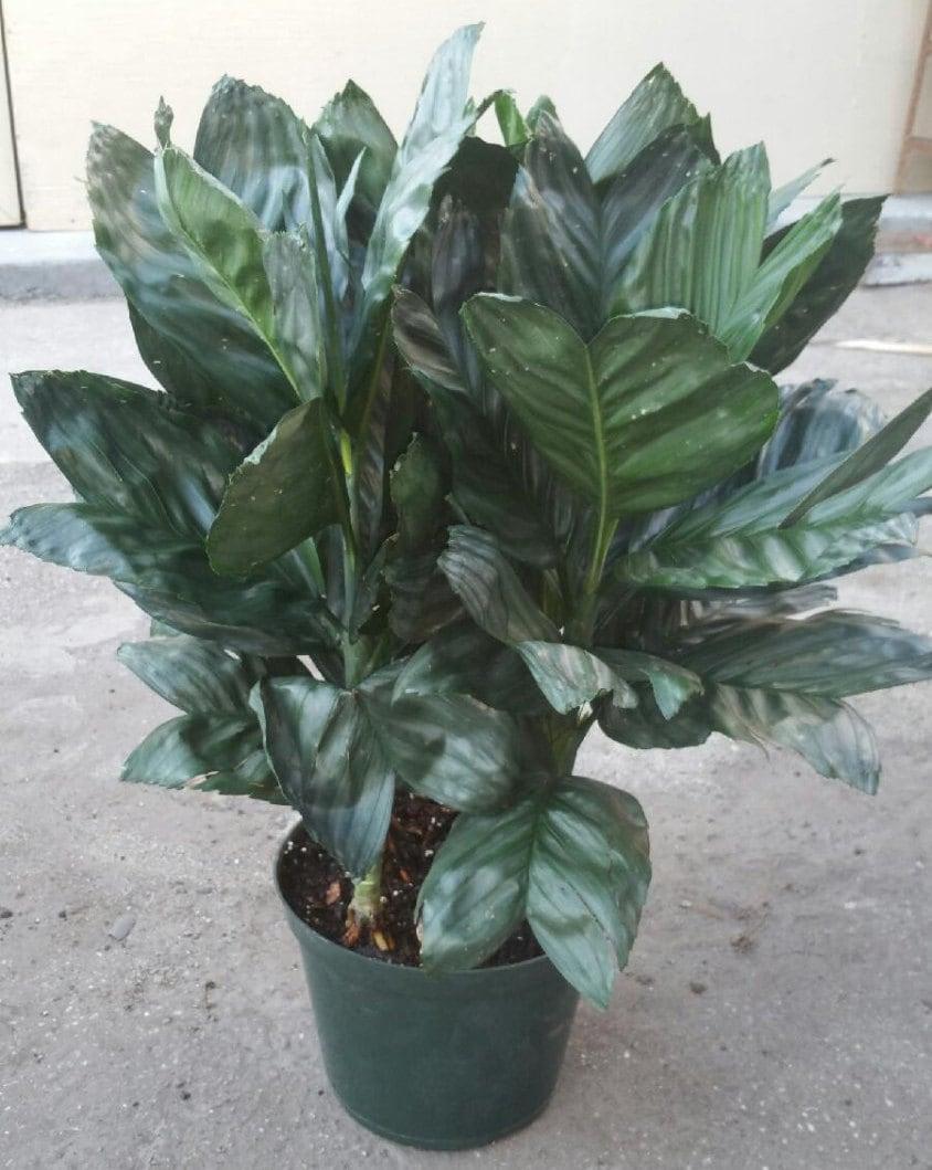 Metallica Palm Tree Plant In 10 Inch Pot