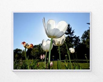 Tulip landscape photo 8x10 / Nature print, flower photography