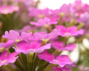 Purple Flower Garden Photograph