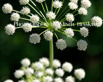 Double Scoop, Flower photography, Nature photography, fine art print, wall art, allium, white flower, green, white, photograph, photo