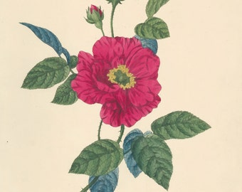 Vintage Wild Rose Print