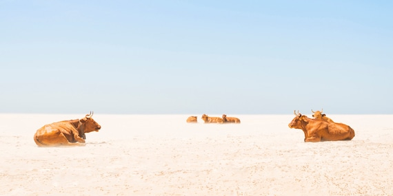 "Cow Print. ""Sunbathing Cows"",  Tarifa Beach, Animal Print, Wildlife Photography, Large Prints, Cows on Beach, Wall Decor."