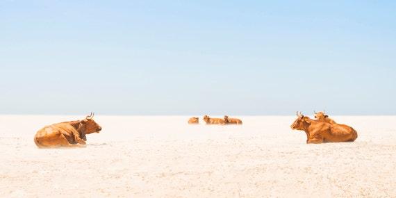 "Cow Print. ""Sunbathing Cows"",  Tarifa Beach, Animal Print, Wildlife Photography, Large Prints, Cows on Beach, Wall Decor."