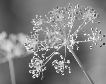 Dill: Black and White