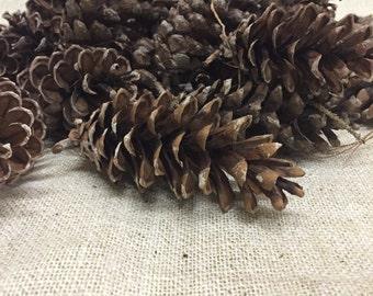 30 White Pine Cones