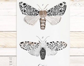 Butterfly Wall Art - Moth Scientific Study - Wall Art - Cotton Canvas with wood trim