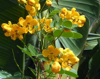 Cassia Tree - 30 seeds - Fast Growing Bush or Tree - Free Shipping