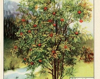 Vintage 1926 American Trees  Original Bookplate Illustration, Print, American Mountain Ash, Tree w Berries, Tree Print, Wall Decor