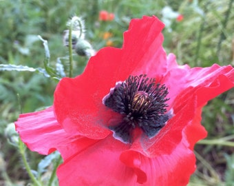 Corn Poppy Seeds (Papaver rhoeas)