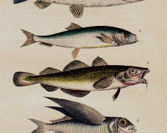 1833 Antique print of fishes, Sailfish, bearded fish, flying fish, original antique hand colored engraving, +183 years old