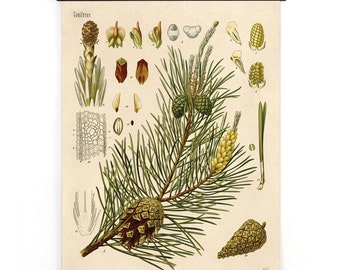 Pull Down Chart - Botanical Scots Pine Diagram Print. Educational Poster Kohler's Botanical. Medicinal Plant Guide evergreen tree  - CP280cv