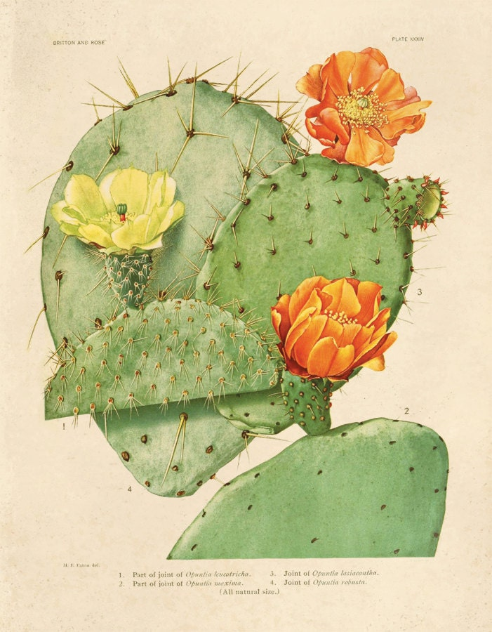 Cactus Blossom Botanical Print Plate 24  Prickly Pear