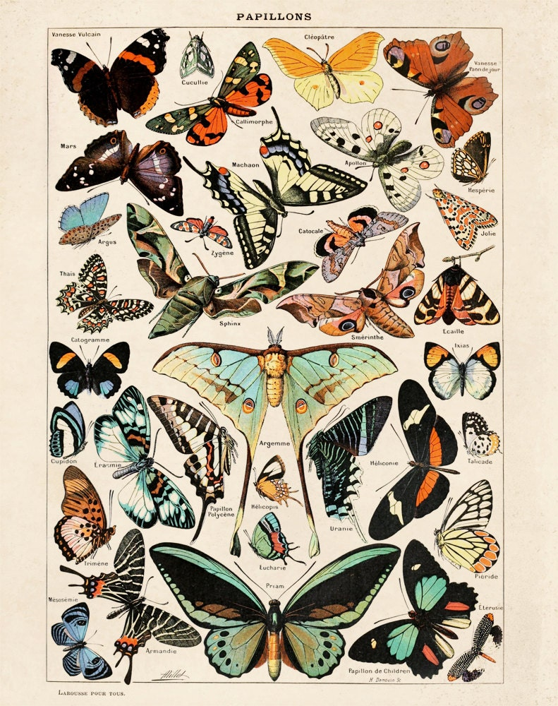 Butterfly Diagram 3 Papillons Poster Vintage Reproduction. Le  Vintage Butterfly Chart