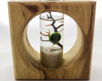 Marimo Shadowbox Terrarium by Midnight Blossom - Modern terrarium featuring a live Japanese moss ball and a beautiful, handmade wooden frame