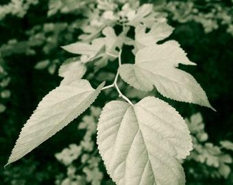 Fine Art Photography, Nature Photograph, Plant Leaves, Garden Home Decor, Botanical Wall Art