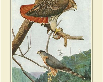RED  TAILED HAWK - high resolution digital download