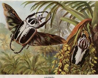 Vintage Print Goliath Beetles Brehms Tierleben 1920s Entomology Illustration