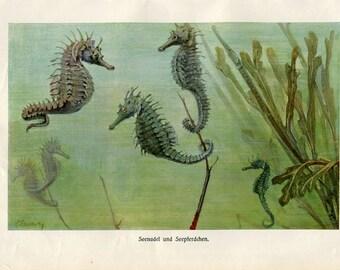 Vintage Print Marine Life Seahorses and Pipefishes Brehms Tierleben 1920s