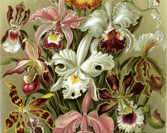 Art Forms in Nature: Ernst Haeckel, Orchideae, 1899. Fine Art Reproduction.