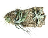 Air Plant Vertical Garden:  Air Plant Wall Hang, Bark Planter, Living Art, Wall Garden, Terrarium